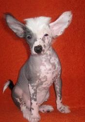 Недорого  щенки  китайской хохлатой собаки!